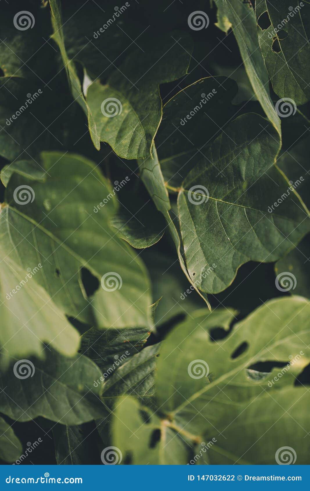 Tiro macro de las hojas de Kudzu