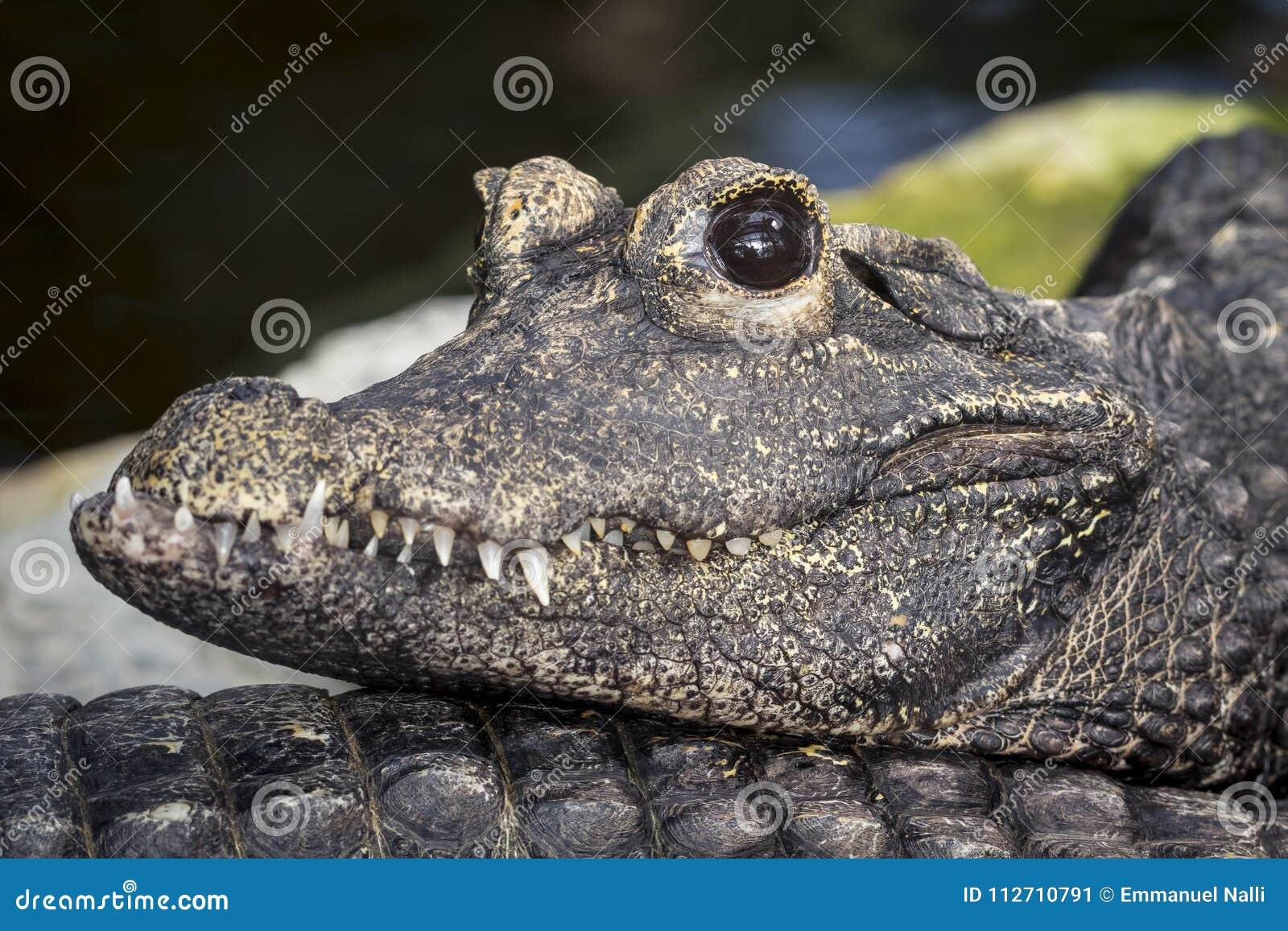 Tiro macro de um crocodilo tropical