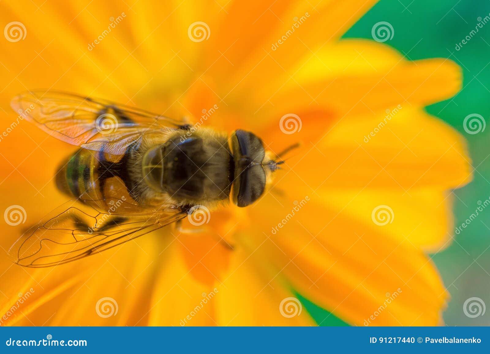 Tiro macro de uma abelha que senta-se na flor amarela