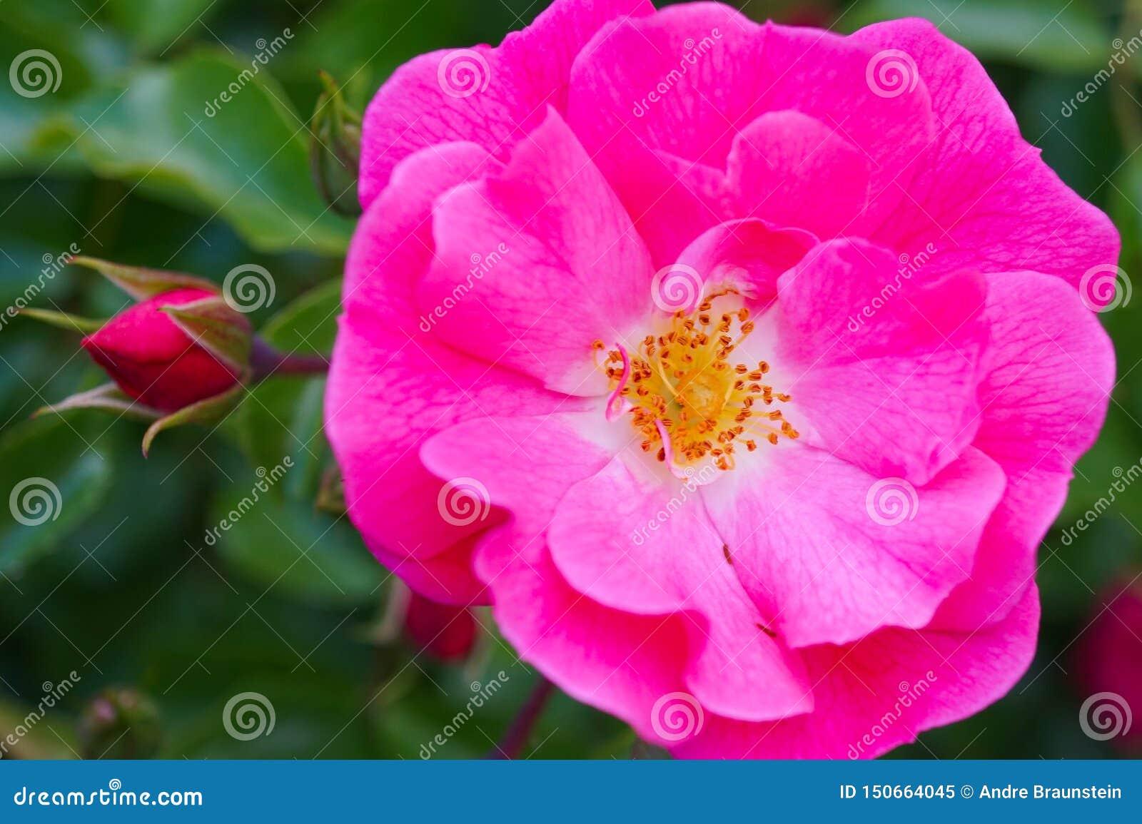 Tiro macro de uma rosa cor-de-rosa com pólen amarelo