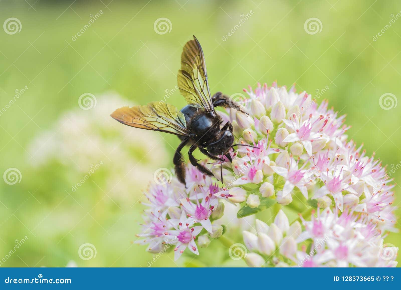 Tiro macro de una abeja con las flores blancas con los puntos rojizos