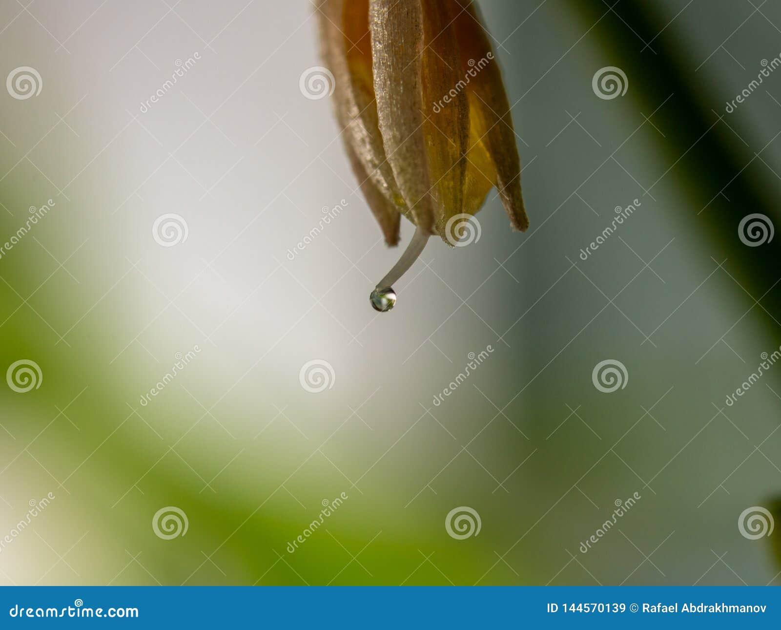 Tiro macro estupendo de una flor con un descenso de rocío Estambre y pistilo Fondo botánico
