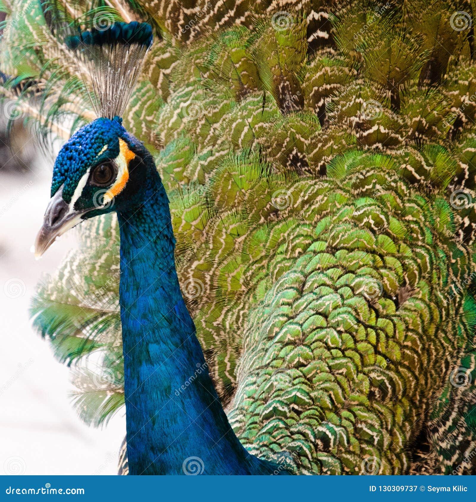 Tiro muy cercano de la turquesa del Peafowl