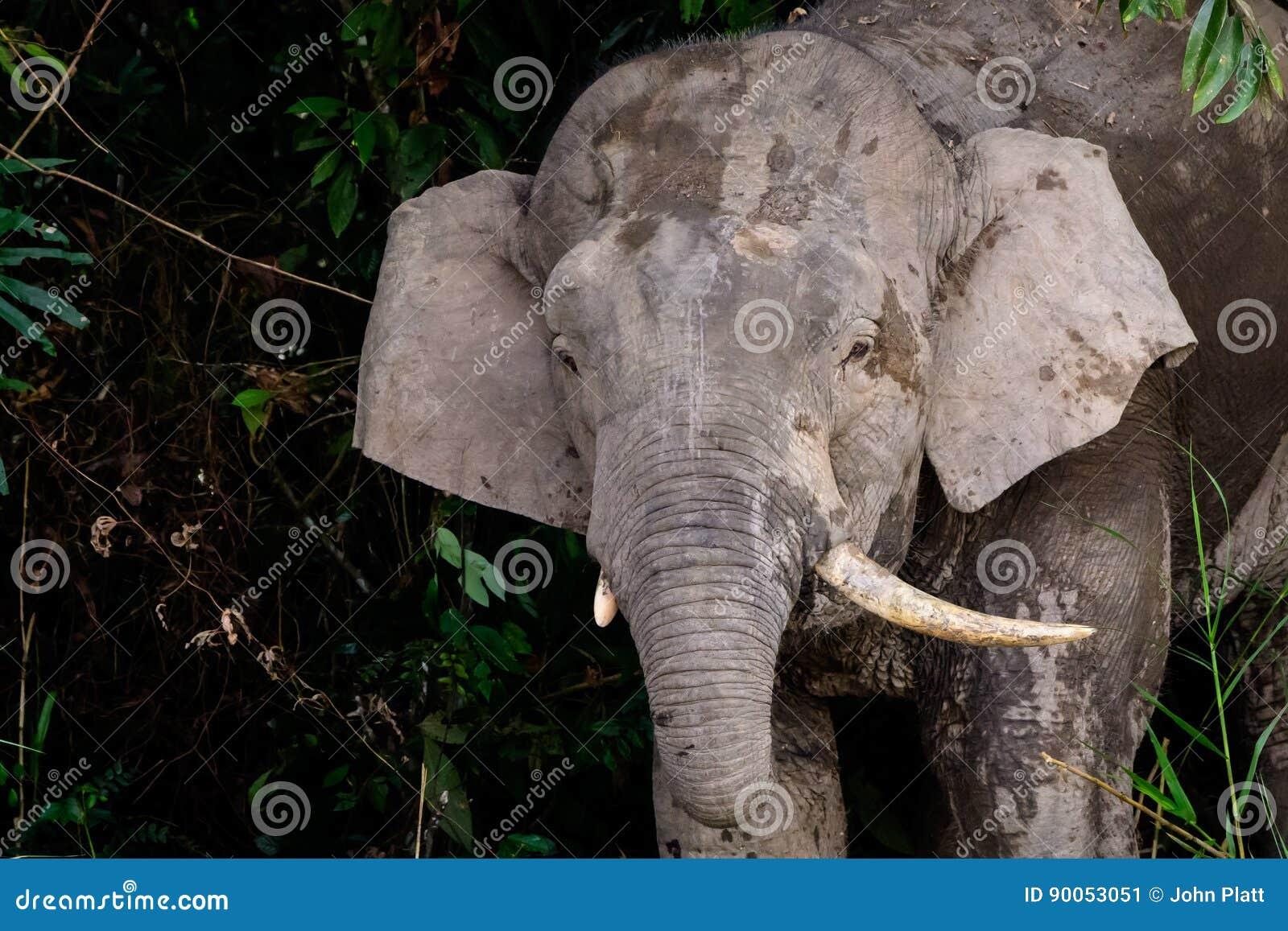 Tiro principal de um elefante masculino do pigmeu