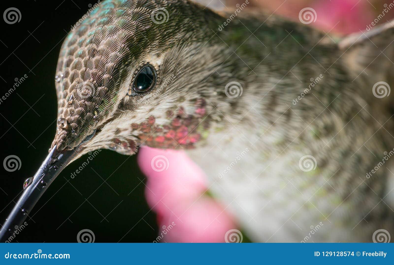 Tiro principal del colibrí