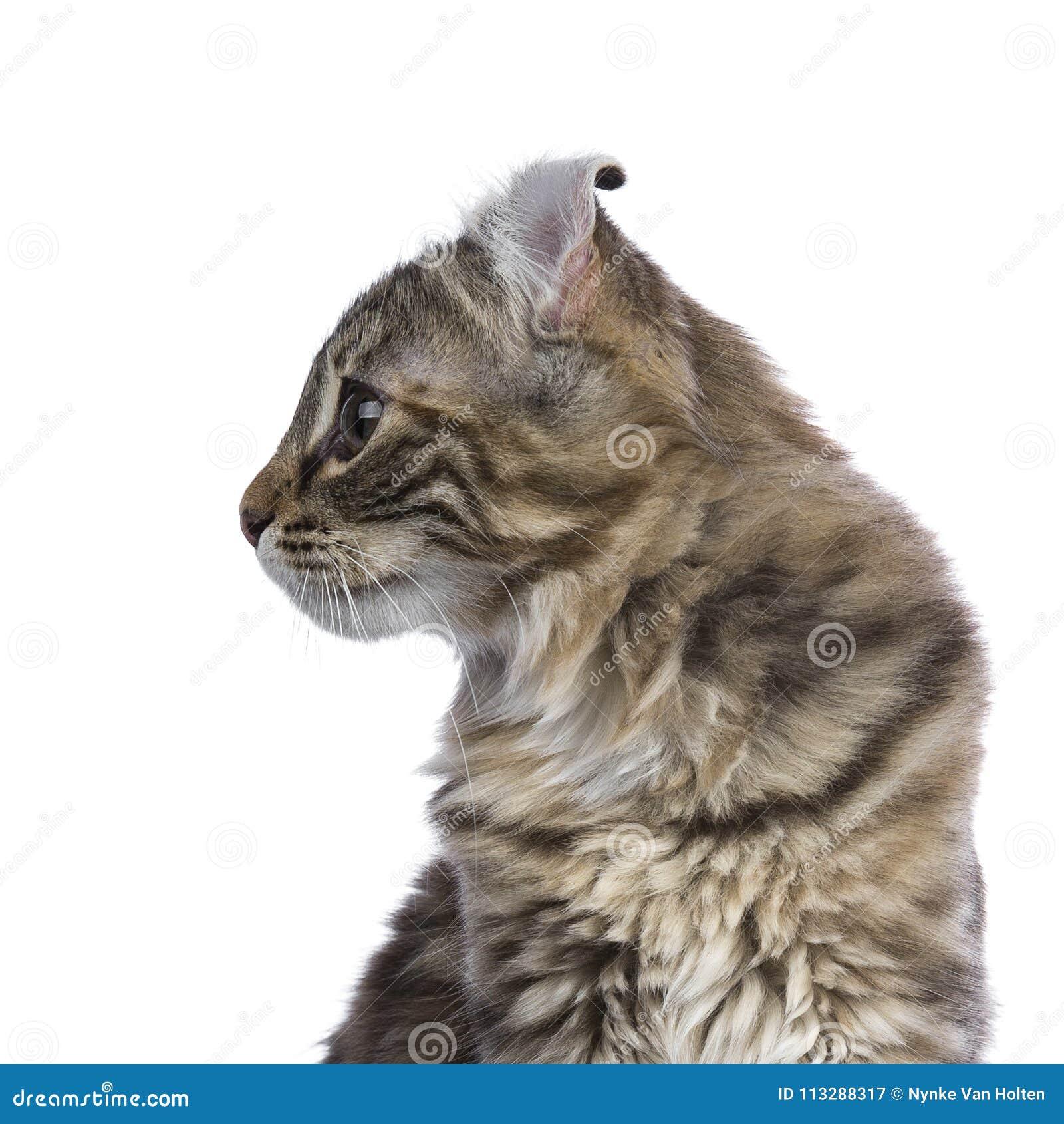 Tiro principal del gato americano del rizo del gato atigrado del tortie de la falta