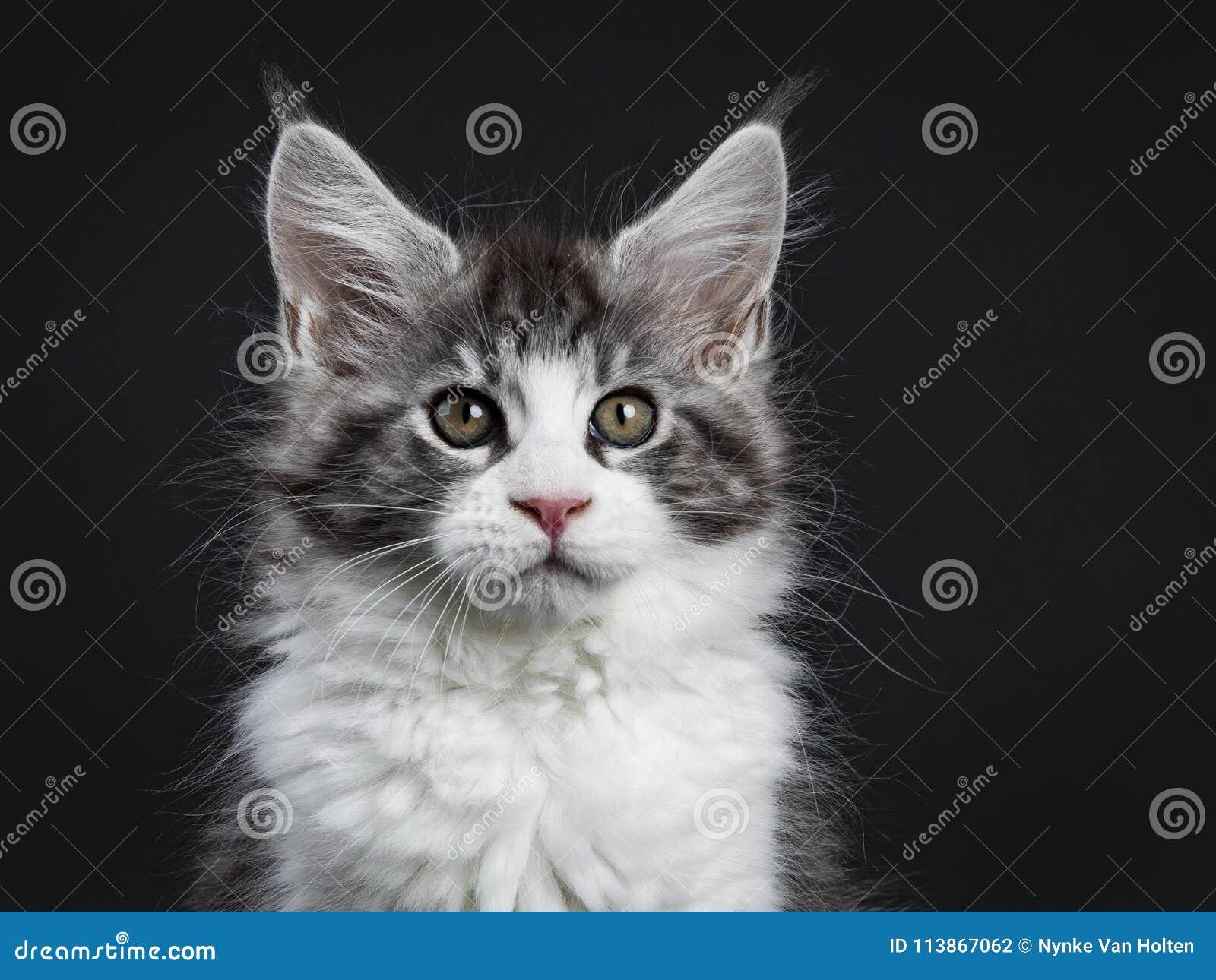 Tiro principal del gato atigrado negro hermoso con Maine Coon blanca