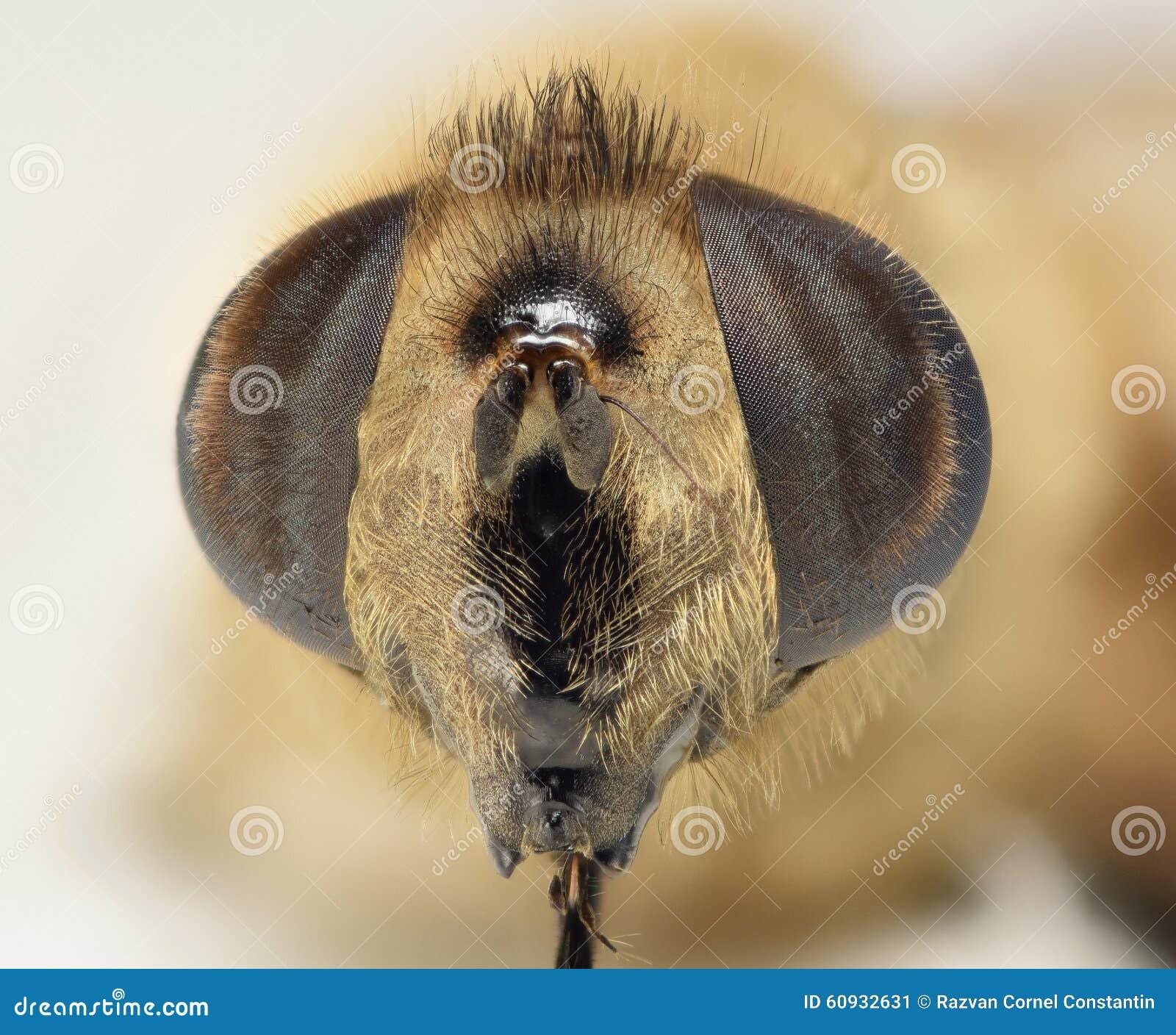 Tiro principal macro de la abeja