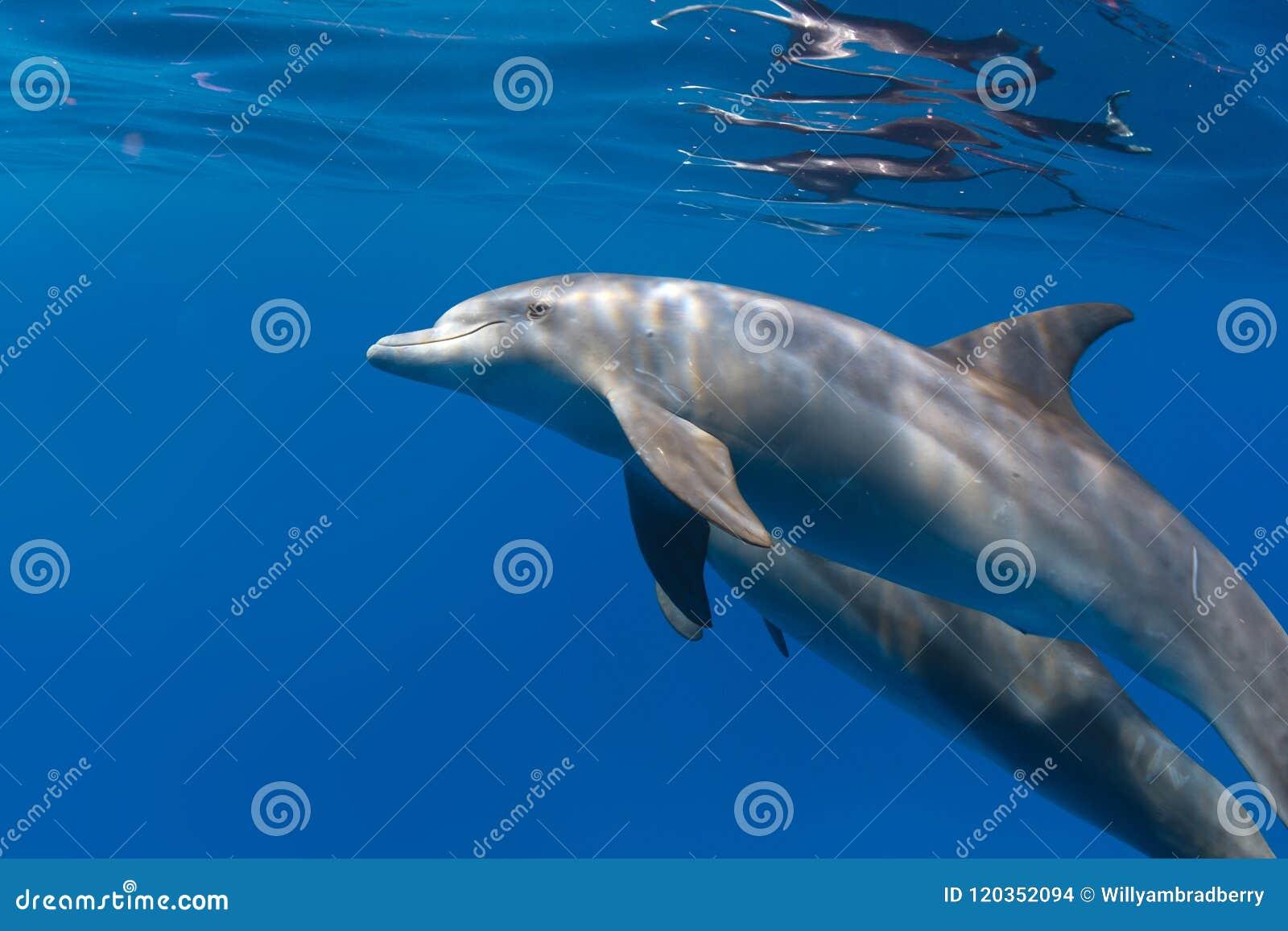 Tiro subacuático del primer de los delfínes en azul