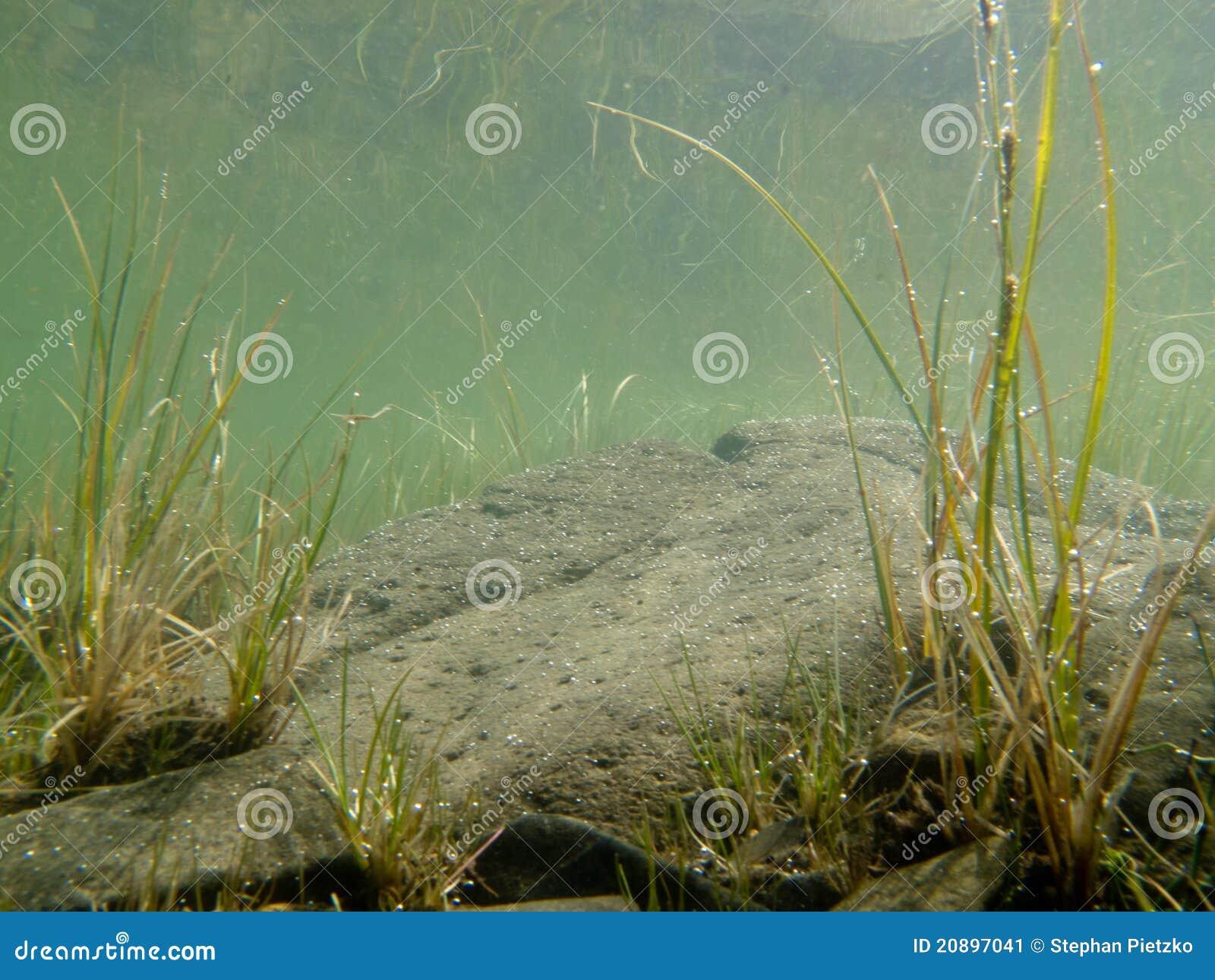 Tiro subaquático da grama e de plantas submersas