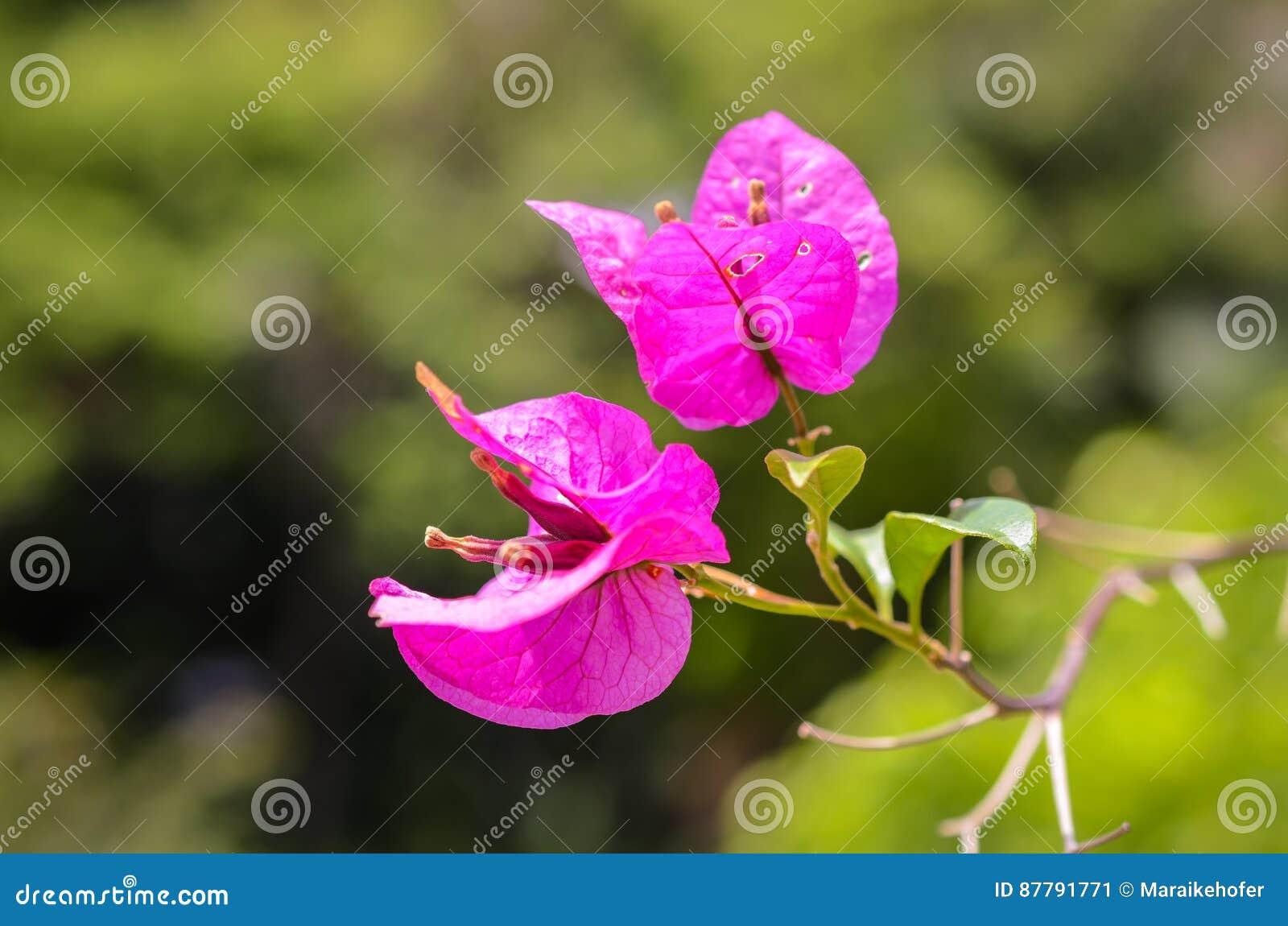 Bougainville Fleur dedans tiro tropical cor-de-rosa do close up da flor de bougainville