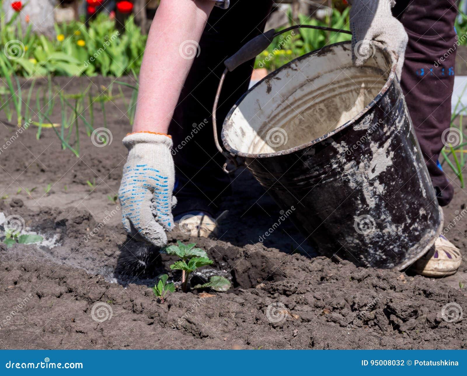 Tiros del jardinero en los lanzamientos de la planta de la ceniza de madera de un cubo