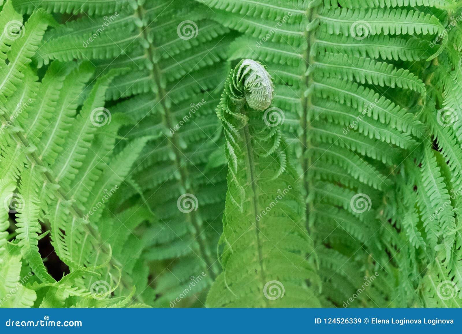 Tiros verdes novos das samambaias, Polypodiophyta Glade da floresta Ondas do verde Fim acima