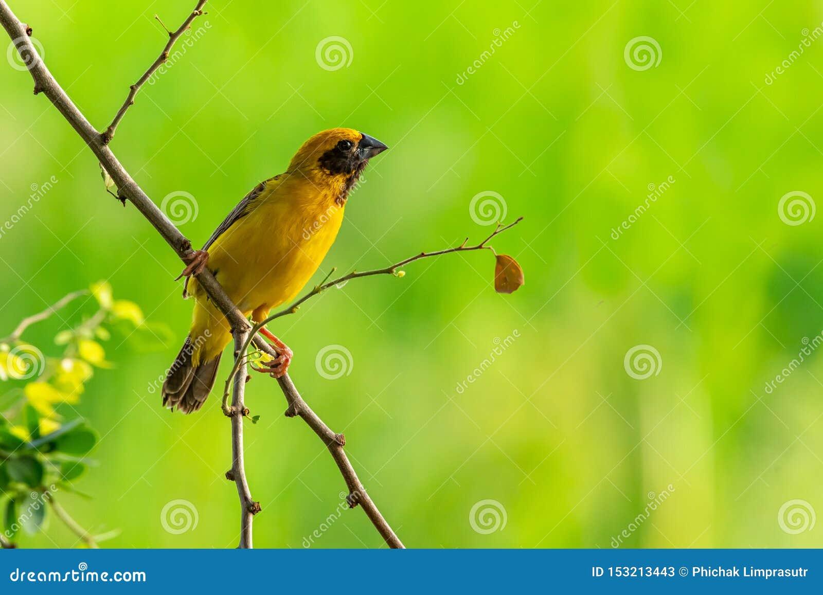 Tisserand d or asiatique masculin intelligent et jaunâtre étant perché sur la branche de tamarinier de Manille, examinant une dis
