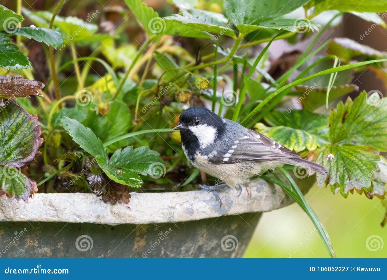 Tit del carbón, pájaro del passerine en gris amarillo con el SP blanco negro de la nuca