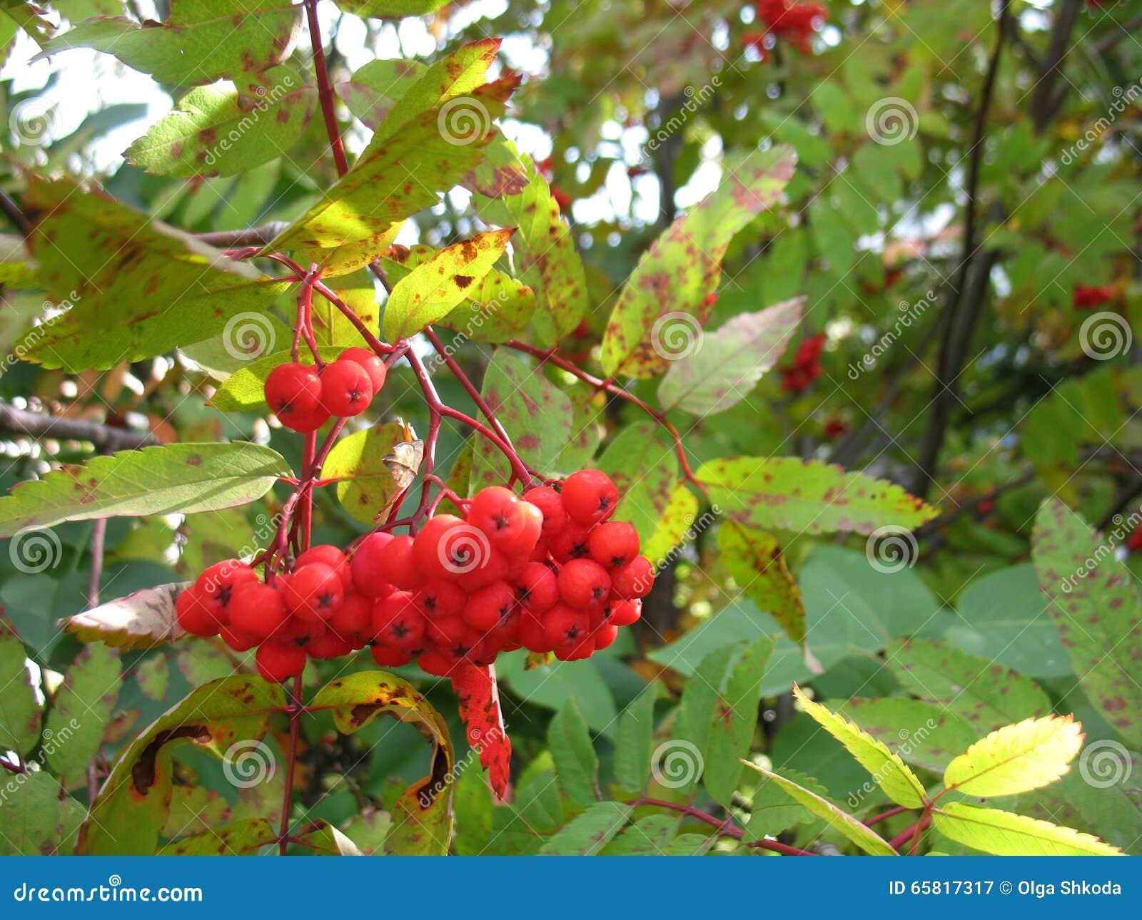 träd med röda bär