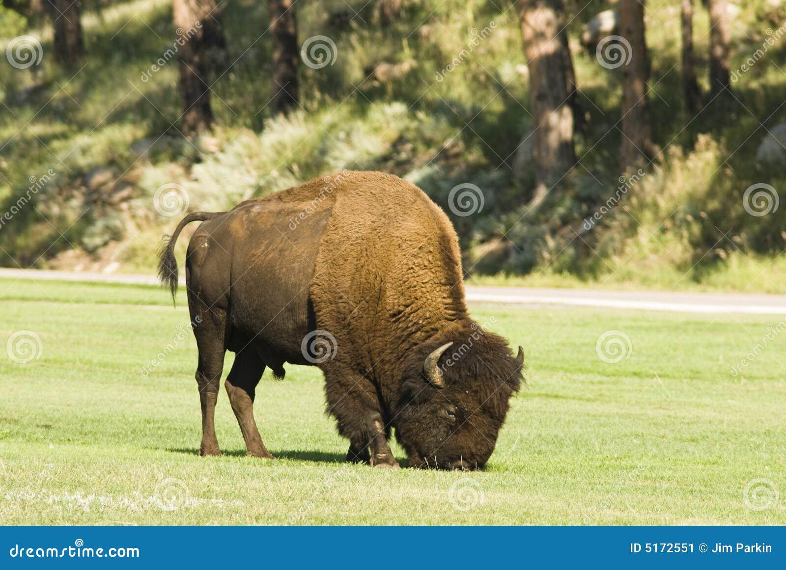 Tjur för 2 buffel