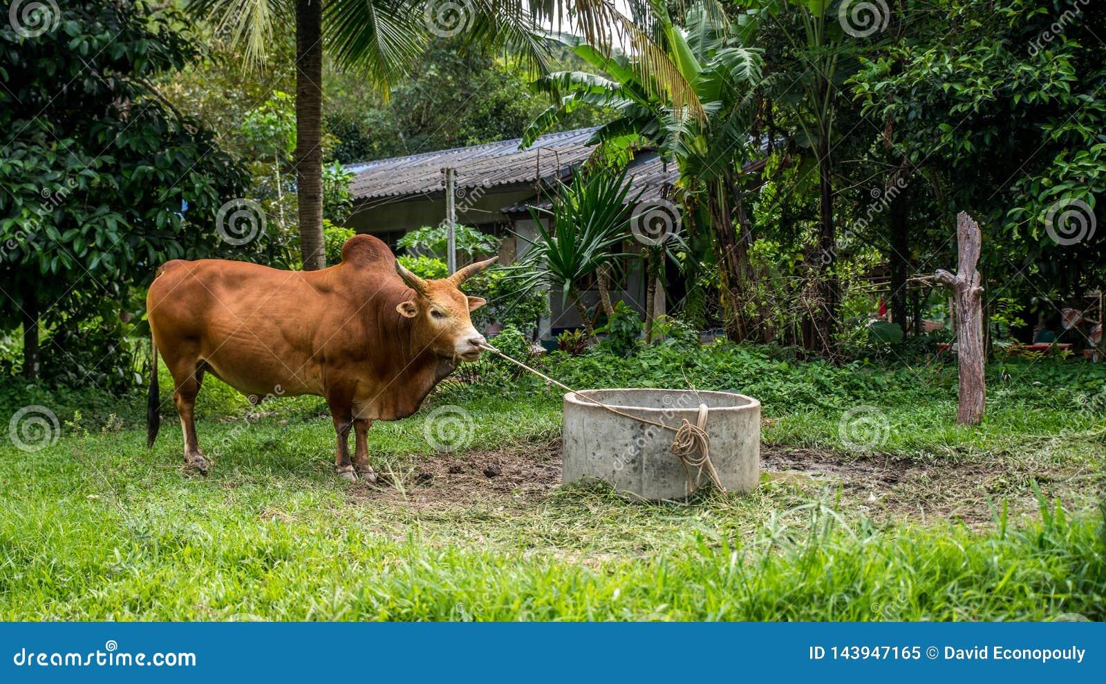 Tjur som binds upp i fält i rainforest i Kiriwong