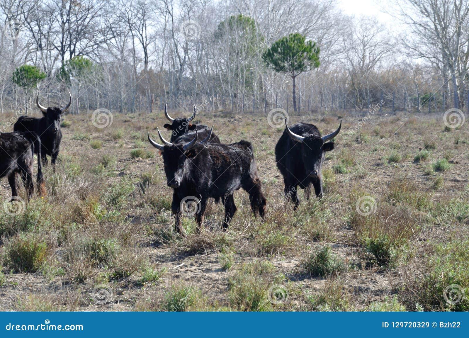 Tjurar i Camargue