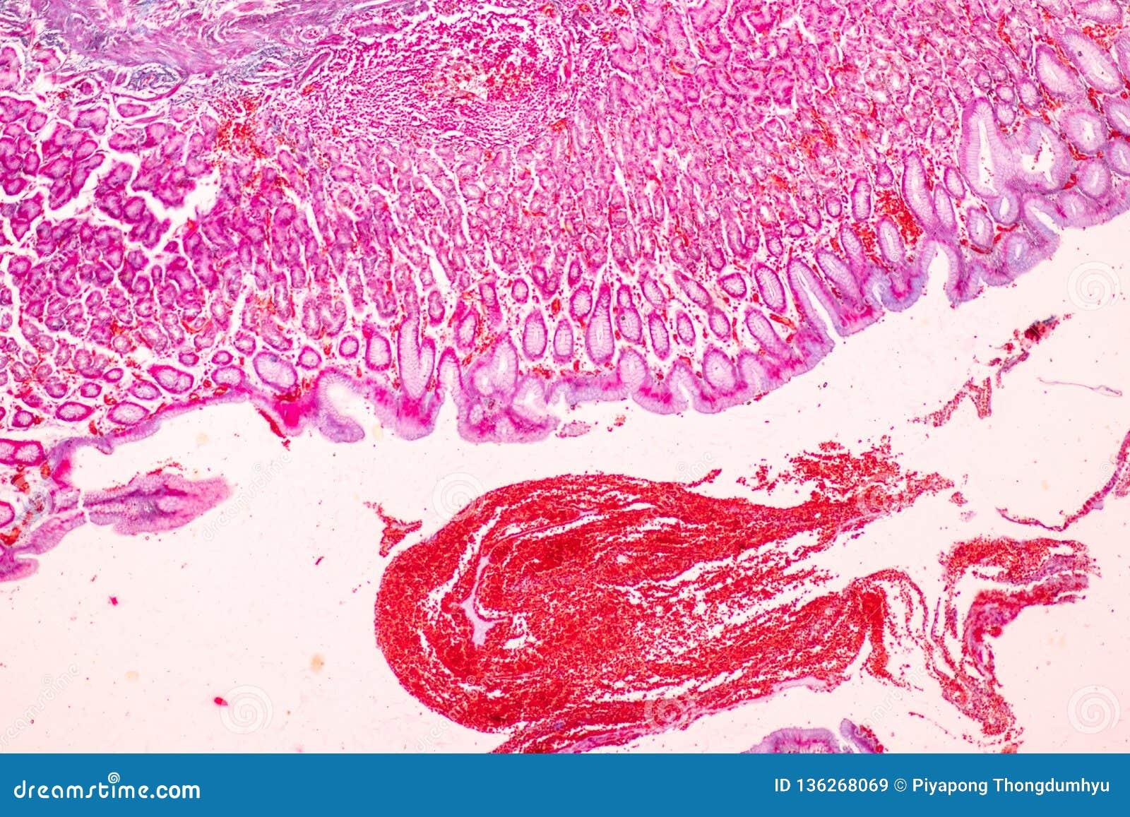 Tkanka żołądek pod mikroskopijnym, fizjologia żołądek dla edukacji w laboratorium