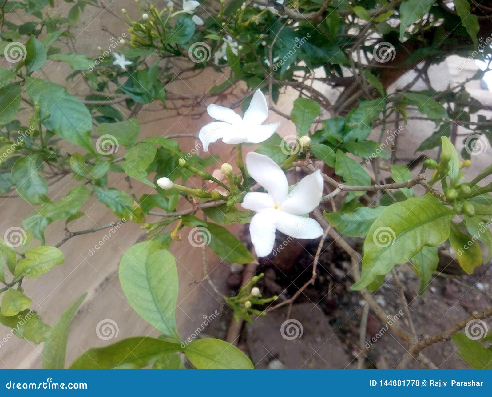 To jest wizerunek biały kwiat z zielonymi liśćmi