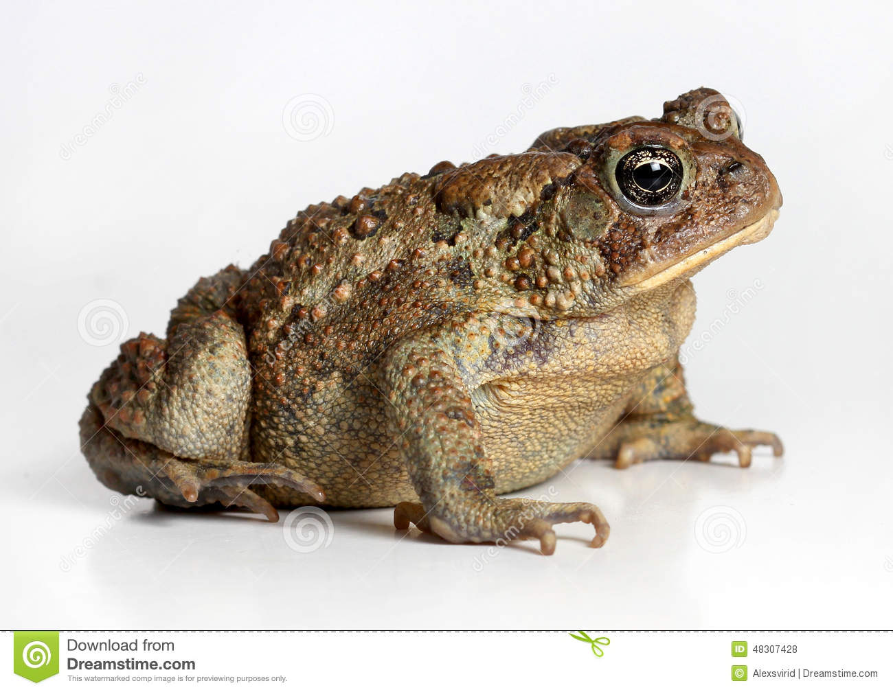 Download Toad Isolated on White stock photo. Image of nature, indoor - 48307428
