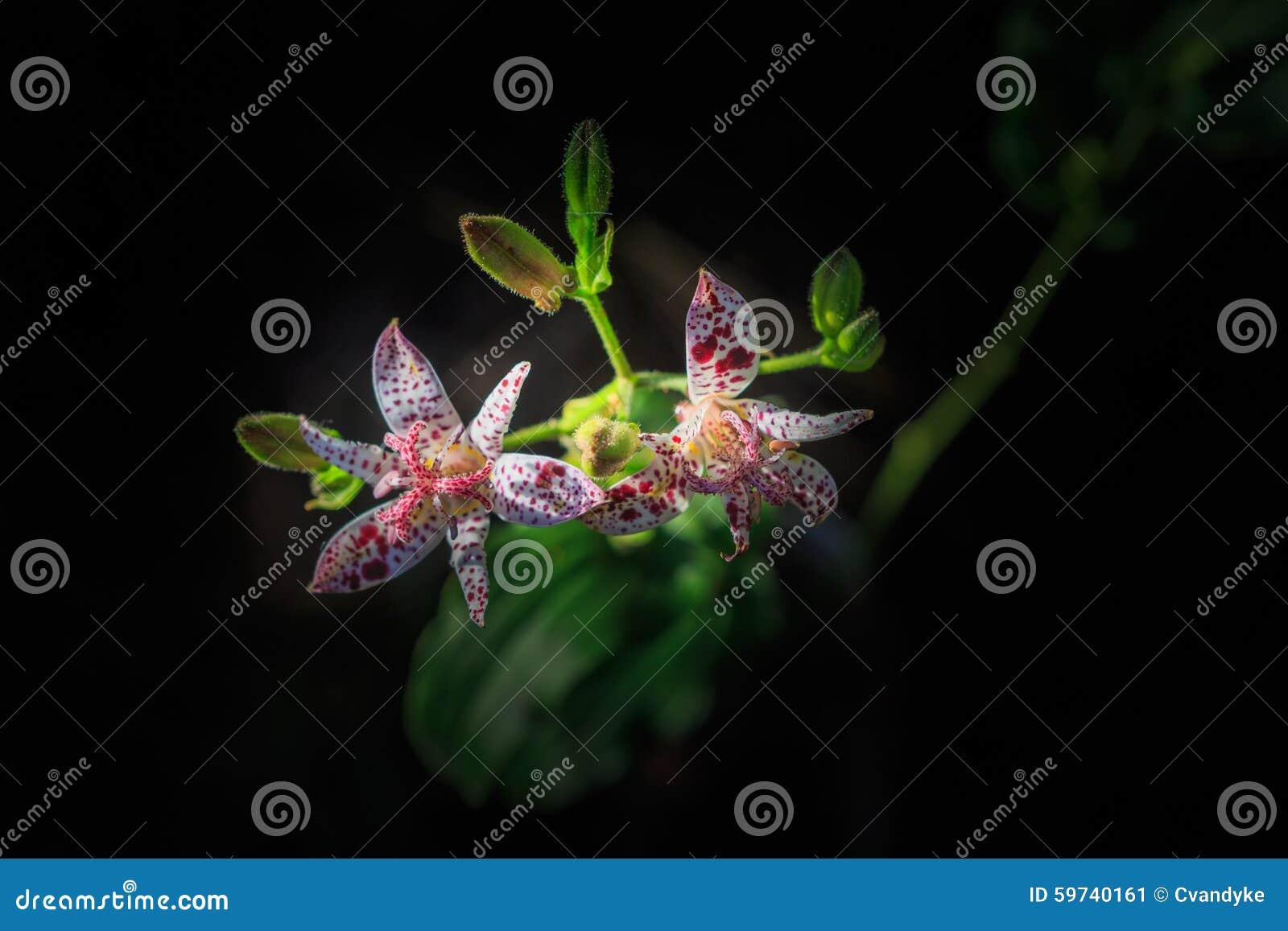 Toad Lilies Tricyrtis Formosana Flowers Stock Photo ...