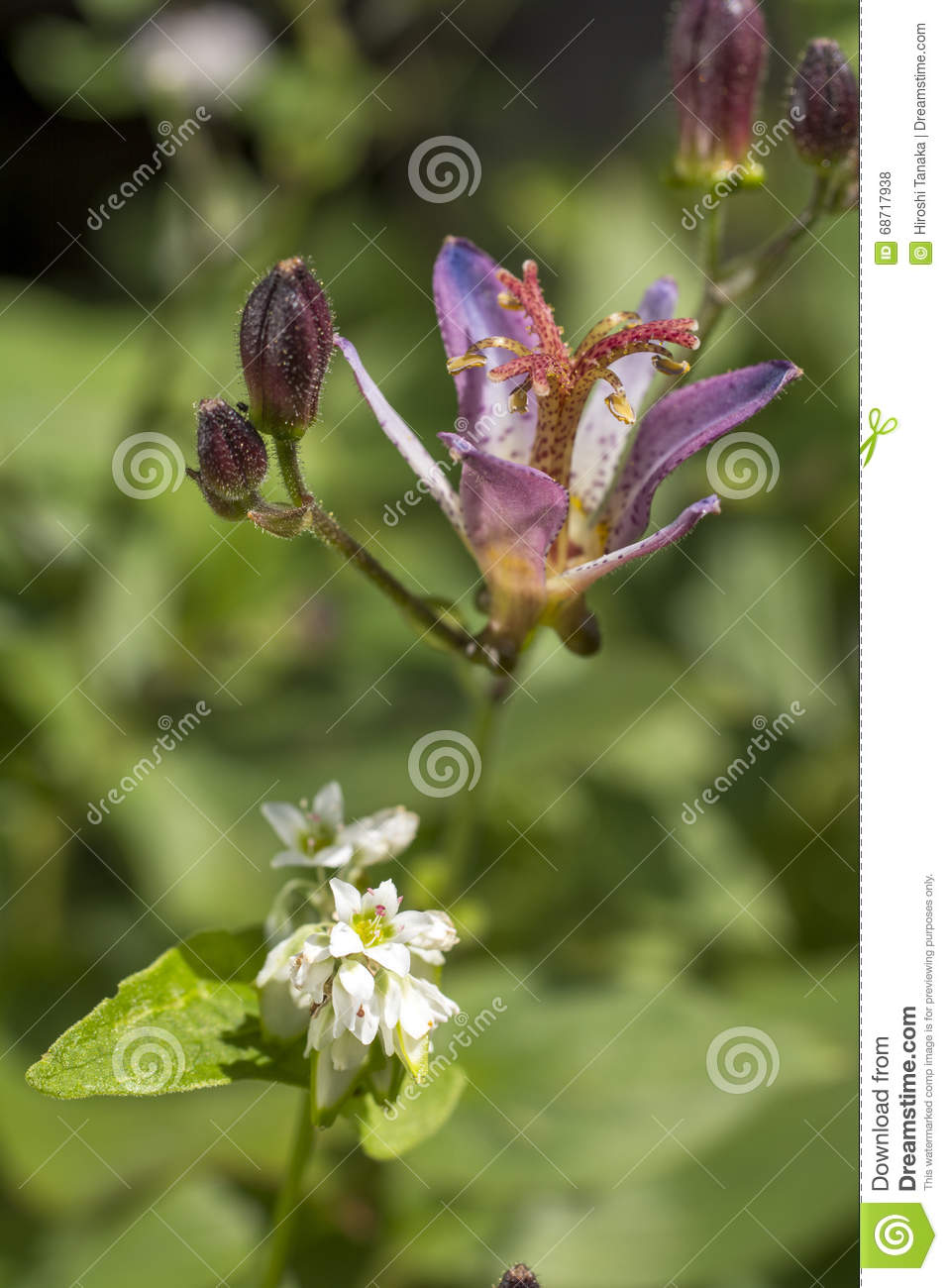 Toad lily and buck wheat stock photo image of buck grass 68717938 toad lily flower and buck wheat flower in vertical composition izmirmasajfo