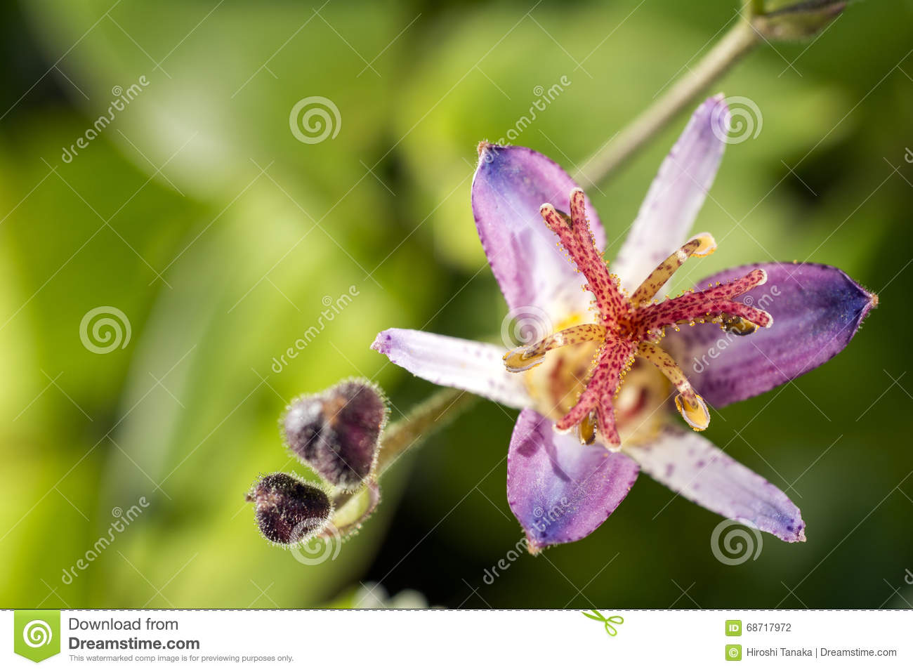 Toad lily flower stock photo image of plant bright 68717972 toad lily flower izmirmasajfo