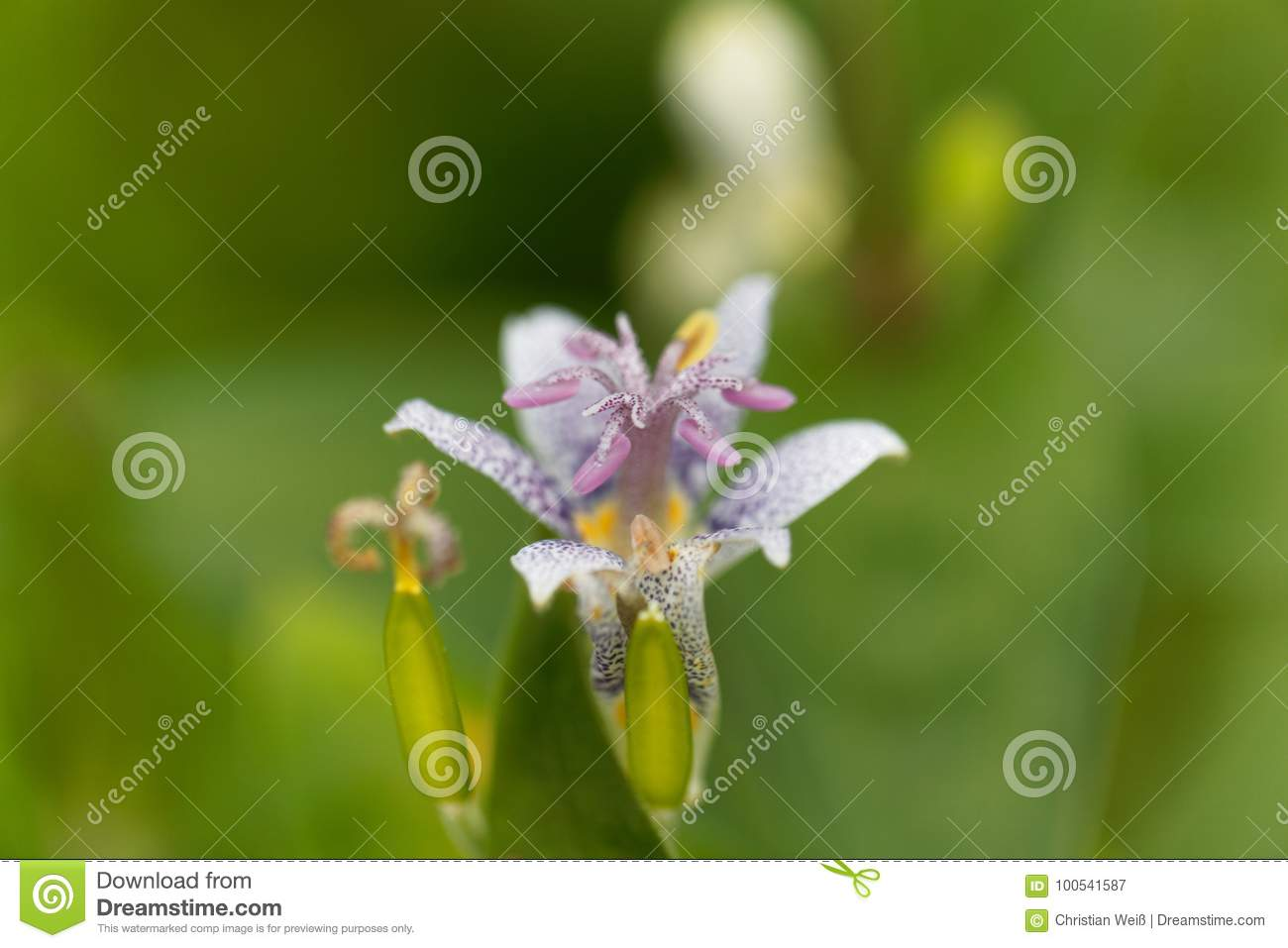 Toad lily flower tricyrtis hirta stock image image of flower download comp izmirmasajfo