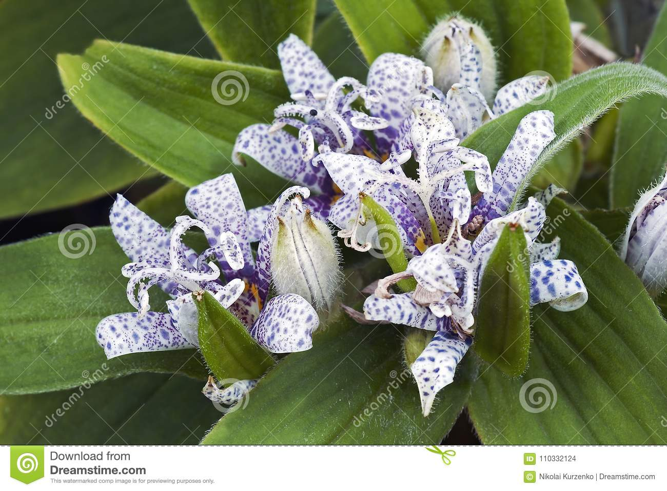 Toad lily flowers stock photo image of bloom toad 110332124 toad lily flowers izmirmasajfo