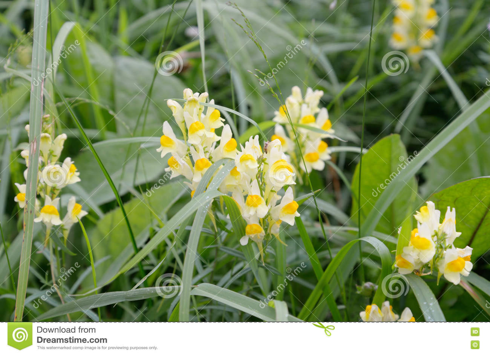 Toadflax commun, Lat Linaria vulgaris