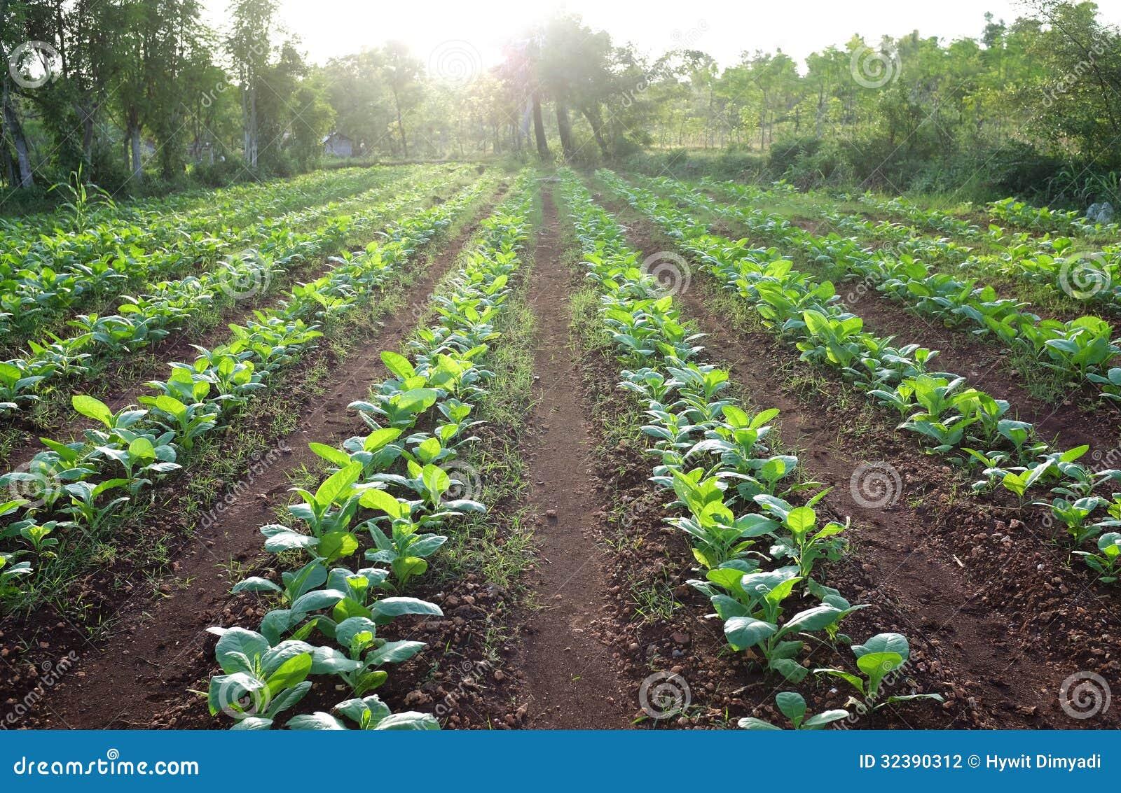 Tobacco Farm Field Stock Photography - Image: 32390312