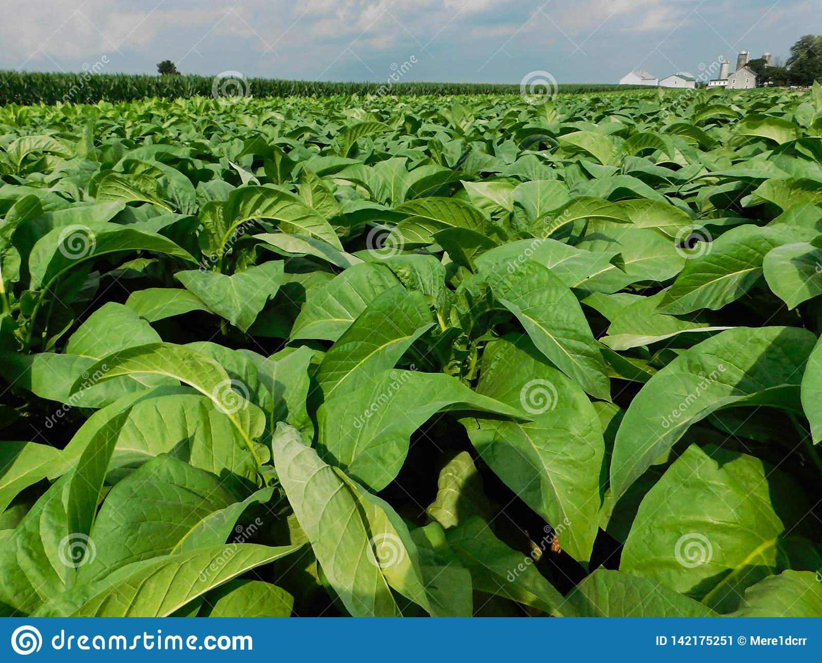A tobacco field in daylight