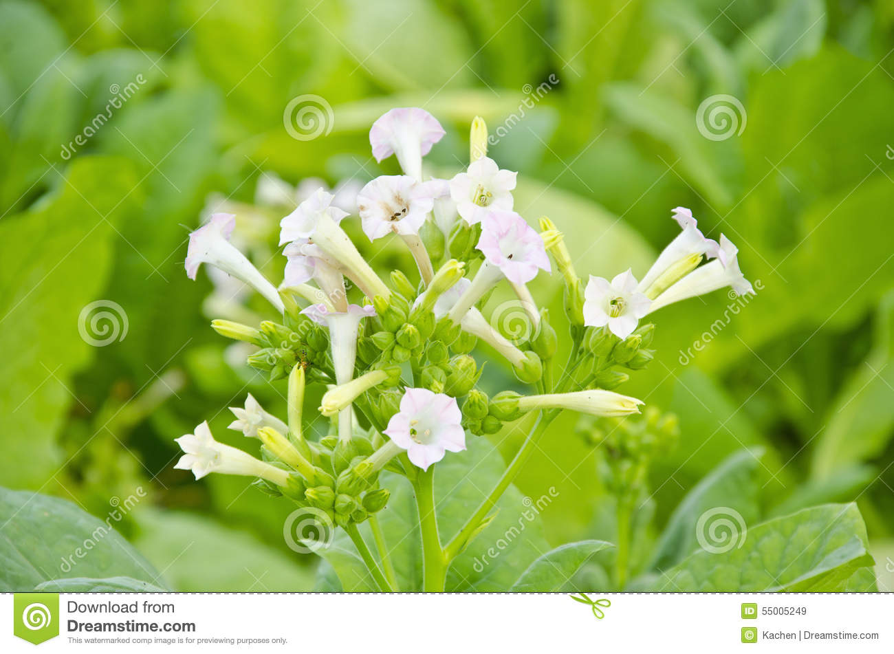 Tobacco flower stock photo image 55005249 for Color tabacco mobili