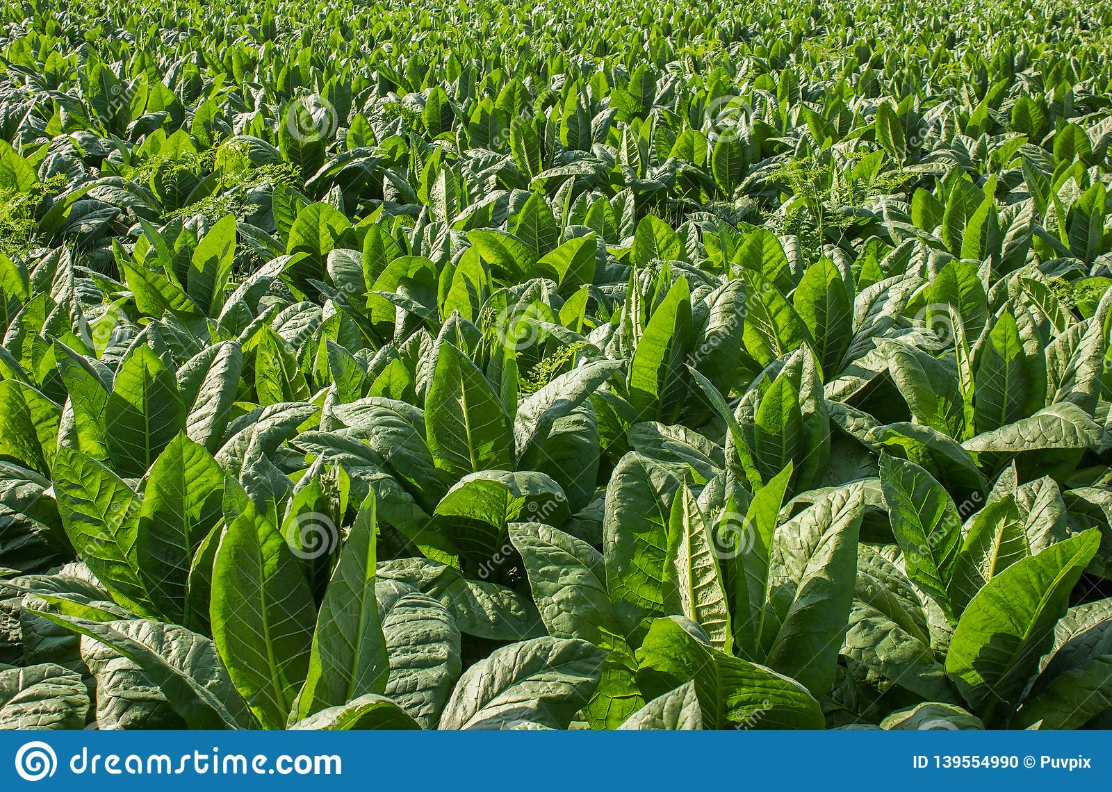 Tobacco green field close up