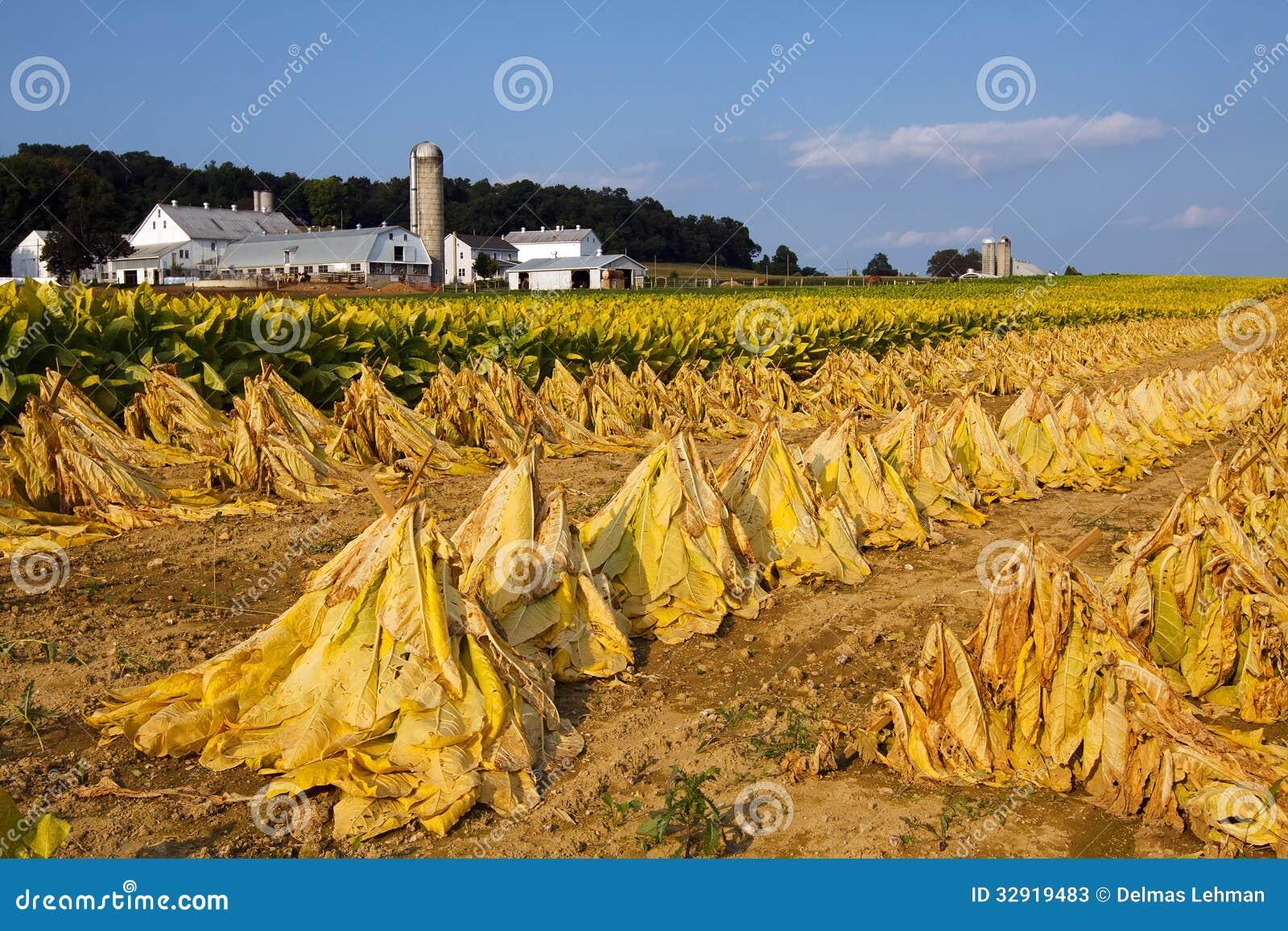 Tobacco Harvest Stock Photos Image 32919483