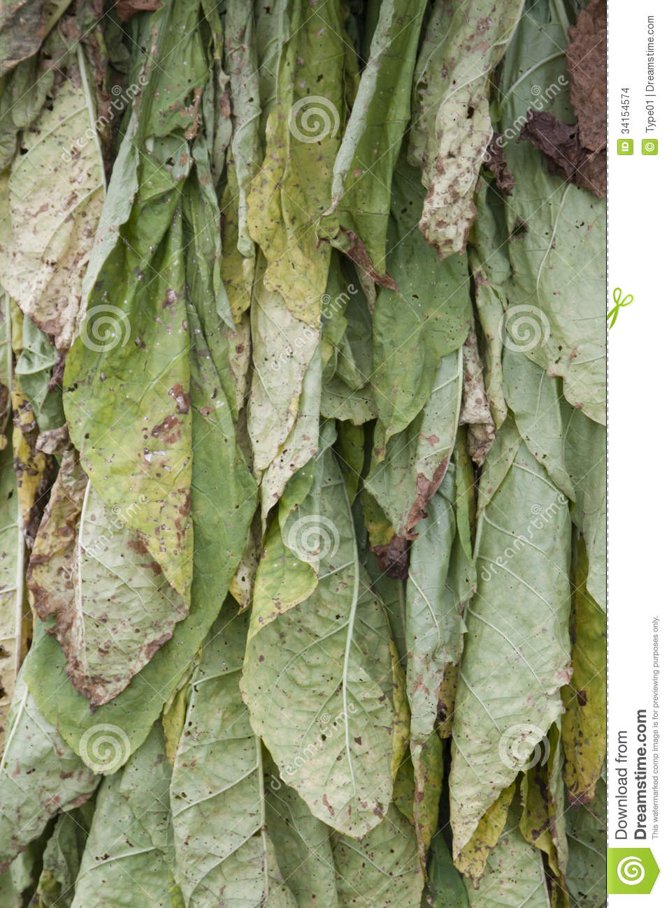 tobacco leaves hanging to dry 34154574