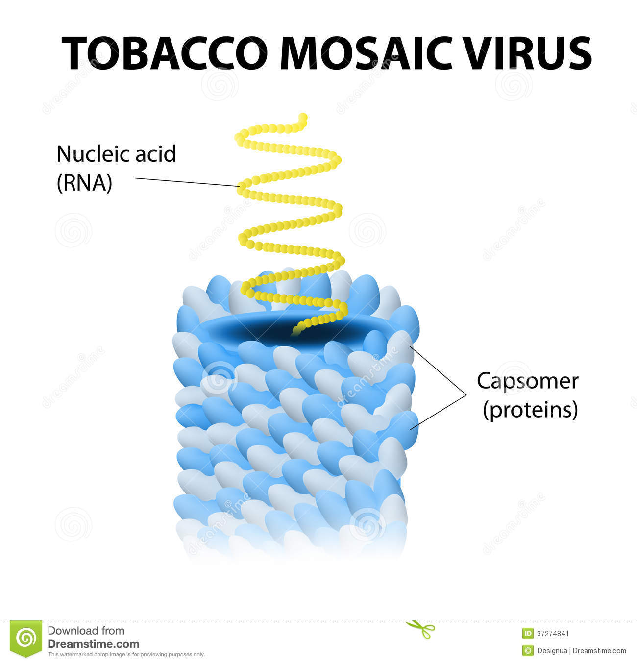 Schematic model of tobacco mosaic virus. TMV the first virus to ever ...Western Desert Clipart