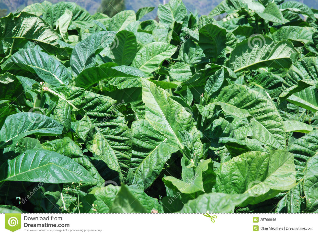 Tobacco Plants With Large Green Leaves Stock Photo Image