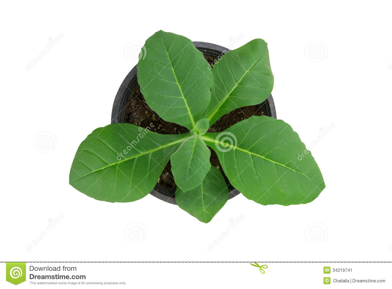 Displaying 20> Images For - Tobacco Plant Clip Art...