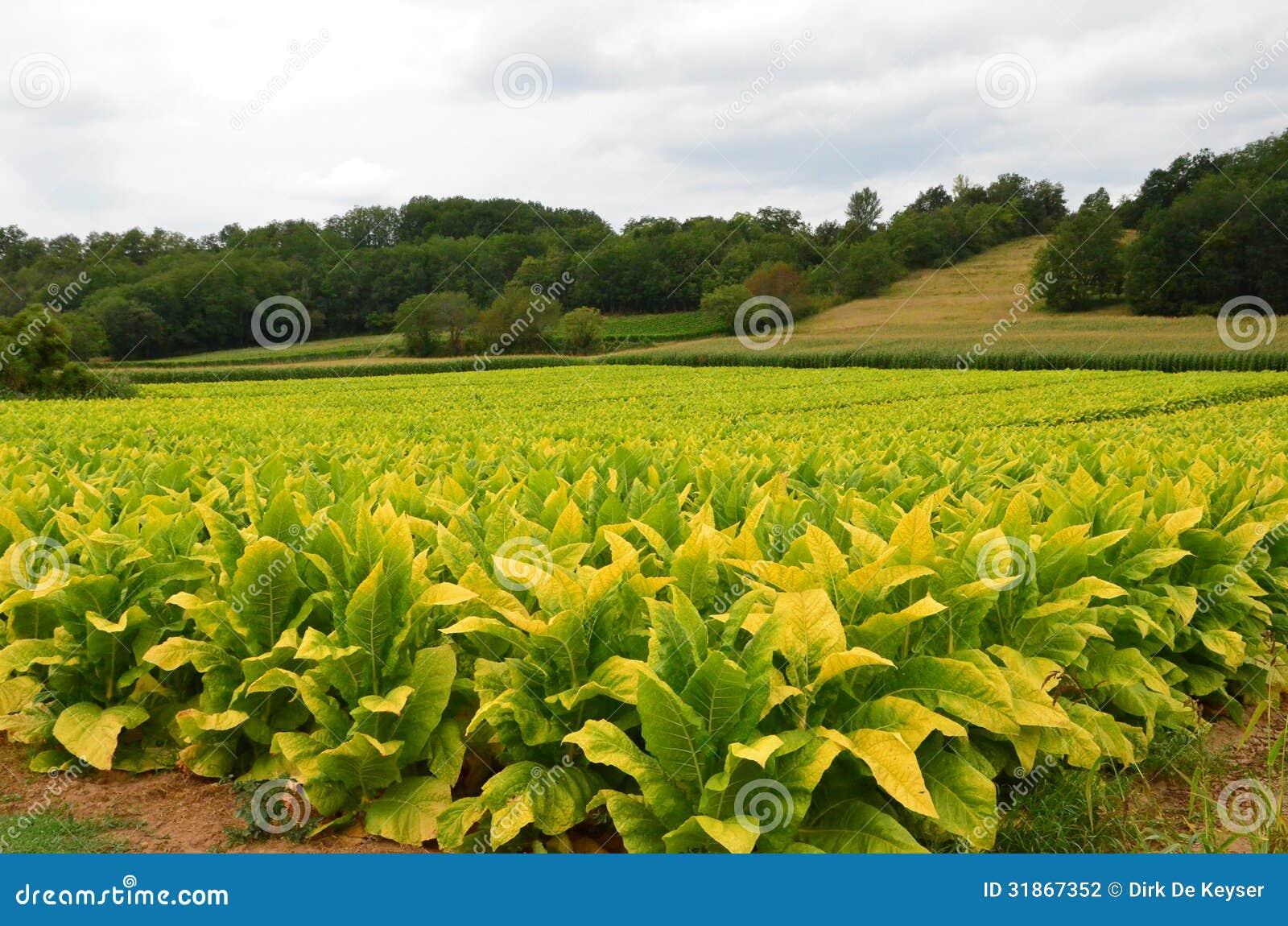 Tobakfält i Dordogne, Frankrike