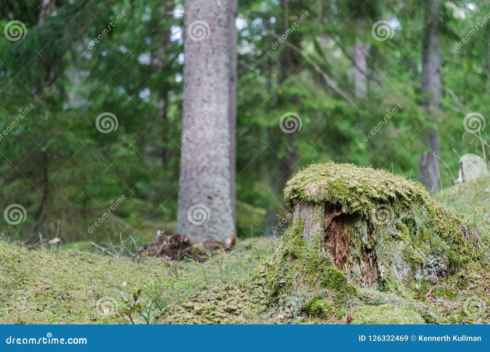 Tocón de árbol envuelto musgo viejo