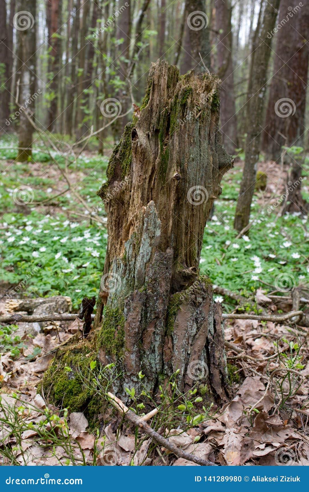 Tocón de árbol putrefacto viejo en el bosque