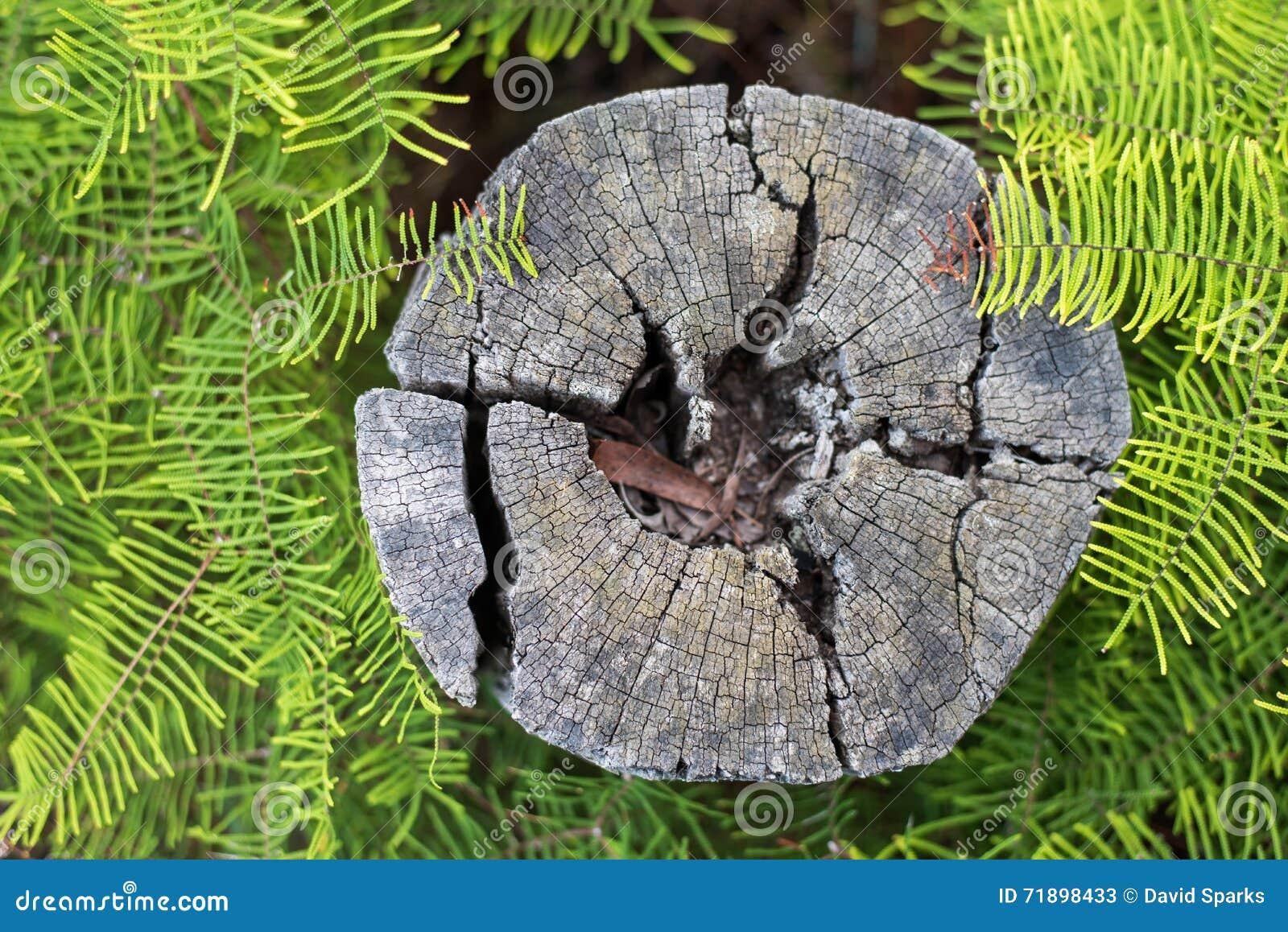 Tocón de árbol resistido rodeado por los helechos