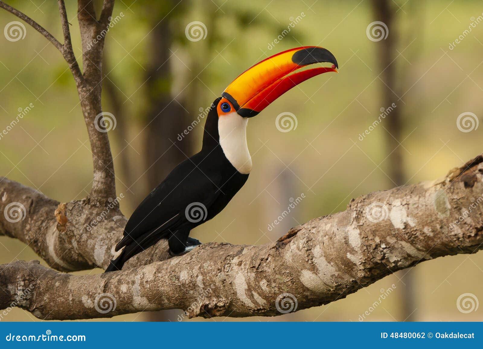 Toco Toucan selvaggio con alimento in becco