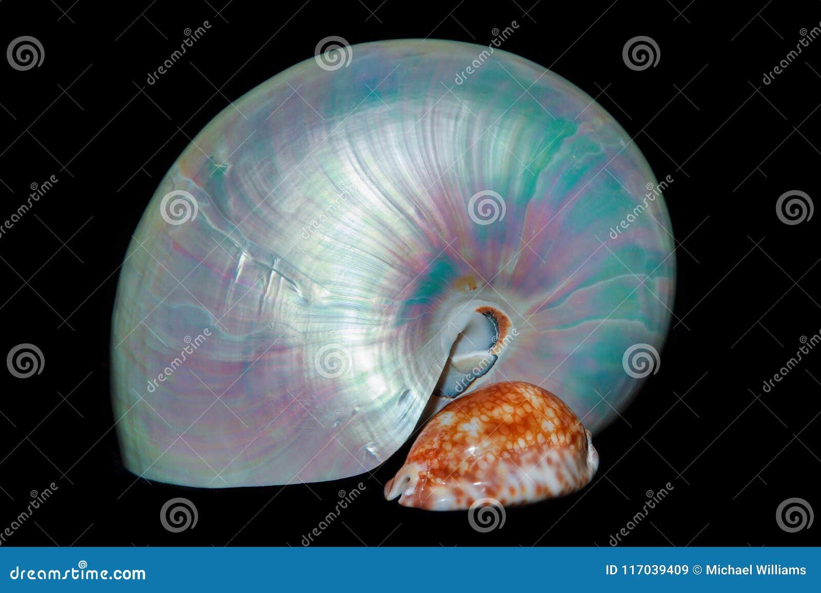Todavía vida con las cáscaras: nautilus y cauri de la perla