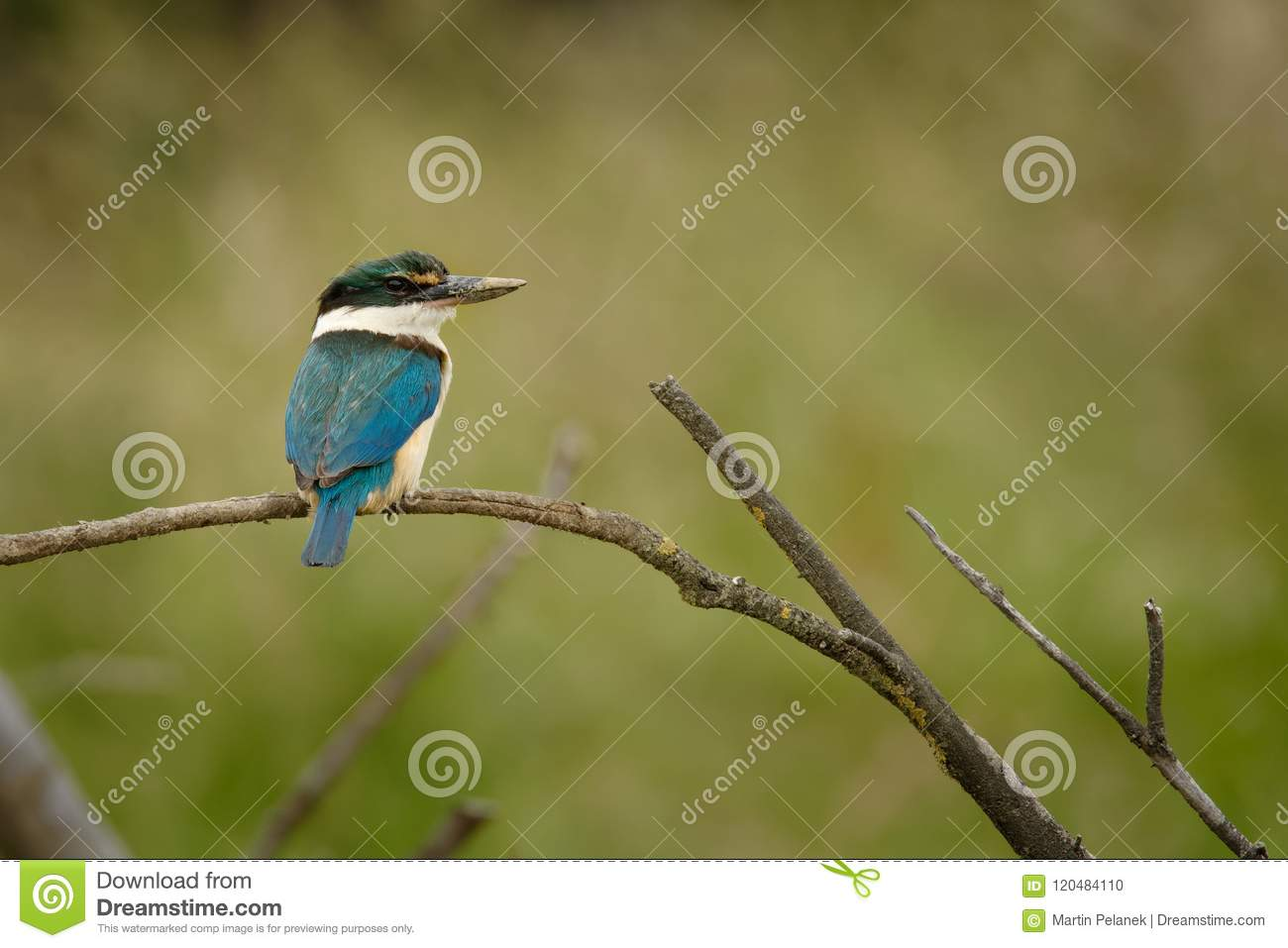 Todiramphus sanctus - Sacred kingfisher - kotare small kingfisher from New Zealand, Thailand, Asia. Hunting crabs, frogs, fish in