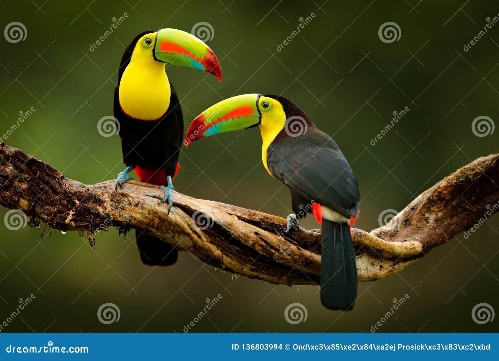 Toekanzitting op de tak in de bos, groene vegetatie, Costa Rica Aardreis in Midden-Amerika Twee kiel-Gefactureerde Toekan