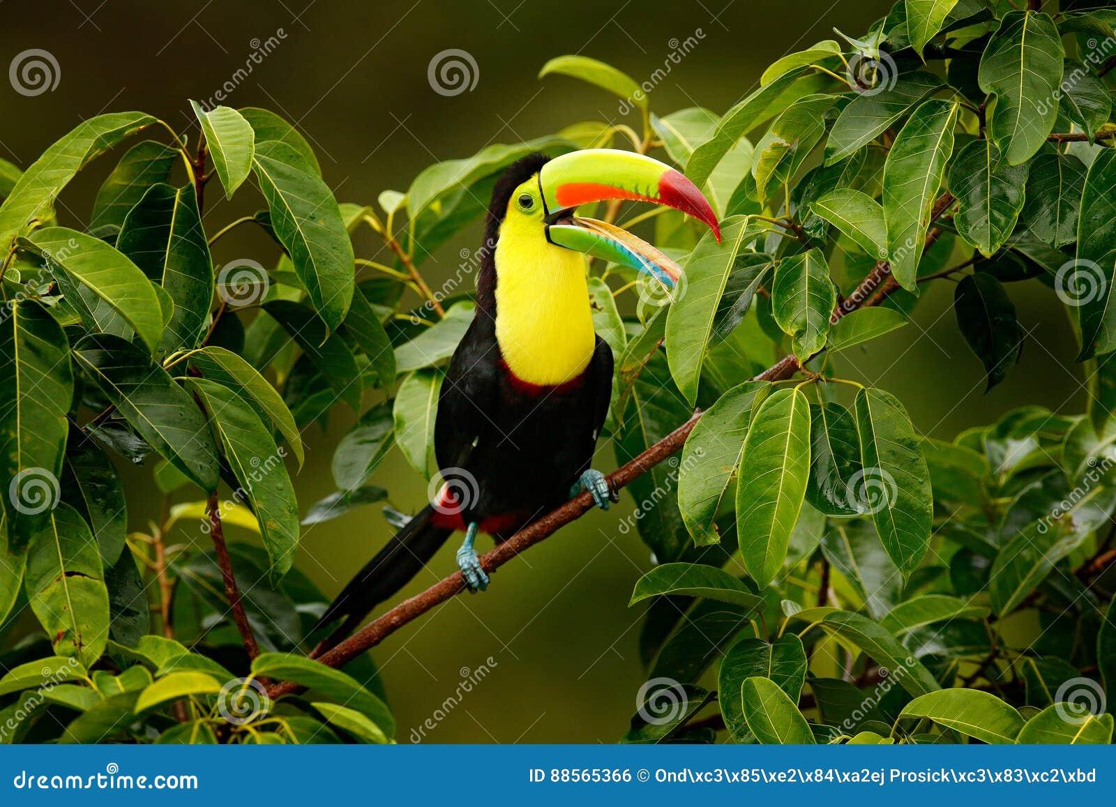 Toekanzitting op de tak in het bos, Boca Tapada, groene vegetatie, Costa Rica Aardreis in Midden-Amerika Kiel-rekening